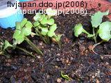 ケールと中央下はホウレンソウの発芽
