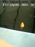 金魚も釣れる