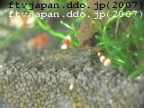 抱卵ミナミヌマエビ