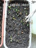 丸葉小松菜発芽