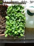 丸葉小松菜、新芽