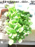 丸葉小松菜、ぐんぐん成長