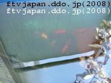 金魚は活性低い