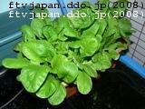小松菜収穫する