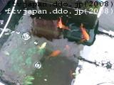 金魚水で育つ
