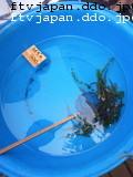 ライギョの稚魚