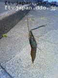 テナガエビが釣れました!でかい